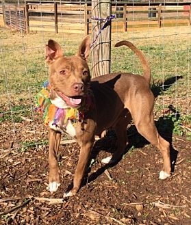 Pit Bull Terrier/Mixed Breed (Medium) Mix Dog for adoption in Oakland Gardens, New York - Brinley