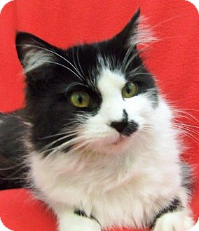 Domestic Mediumhair Cat for adoption in Watauga, Texas - Martha