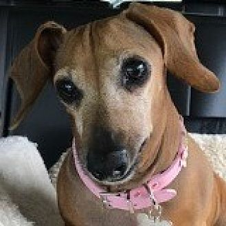 Dachshund Dog for adoption in Houston, Texas - Princess Pepsodent