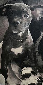 Beagle/French Bulldog Mix Dog for adoption in Columbus, Ohio - Zoe