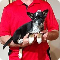 Adopt A Pet :: Bear - Gahanna, OH
