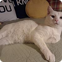 Adopt A Pet :: Lupine - St. Louis, MO