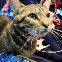Adopt A Pet :: Whiskey Sour - Rio Rancho, NM