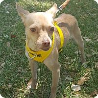 Adopt A Pet :: Mitzi - Houston, TX