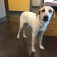 Adopt A Pet :: A030596 - Norman, OK