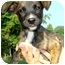 Photo 2 - Labrador Retriever/Whippet Mix Puppy for adoption in Pawling, New York - ANGEL