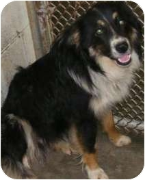 Border Collie Dog for adoption in Plainfield, Illinois - Sebastian