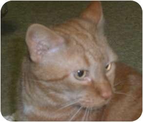 Domestic Shorthair Cat for adoption in Stafford, Virginia - Ralph