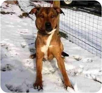 Labrador Retriever/German Shepherd Dog Mix Dog for adoption in Westerly, Rhode Island - Dexter