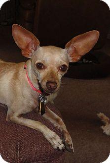 Chihuahua/Dachshund Mix Dog for adoption in Dallas, Texas - Sofie