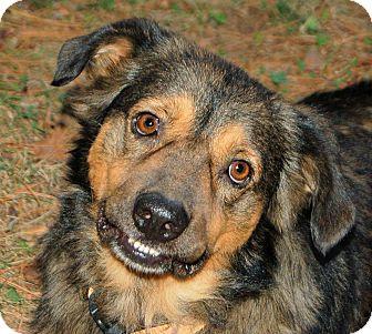 Australian Shepherd/English Shepherd Mix Dog for adoption in White Plains, New York - Forrest