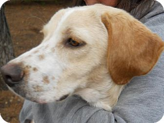 Golden Retriever/Spaniel (Unknown Type) Mix Puppy for adoption in BIRMINGHAM, Alabama - Bentley