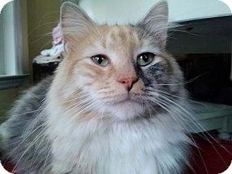 Domestic Longhair Cat for adoption in Smithfield, North Carolina - Peach