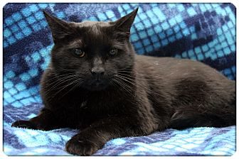 Domestic Shorthair Cat for adoption in Sterling Heights, Michigan - Shadow - ADOPTED!