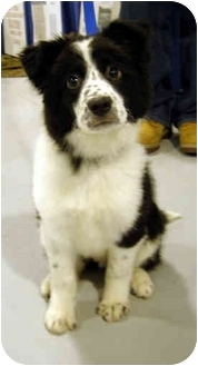 Border Collie Puppy for adoption in Bellevue, Nebraska - Jock