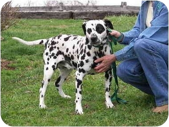Dalmatian Dog for adoption in Ripley, Ohio - Levi