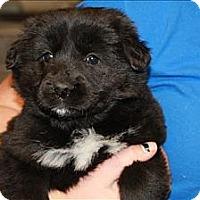 Adopt A Pet :: Fendi - Chicago, IL