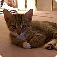 Adopt A Pet :: Tigerlily - Morgan Hill, CA