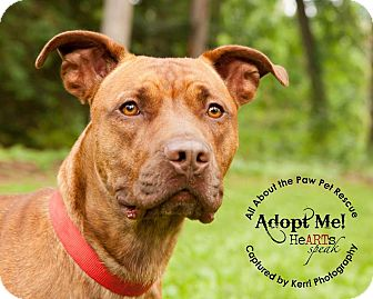 Pit Bull Terrier Mix Dog for adoption in Mansfield, Ohio - Reese