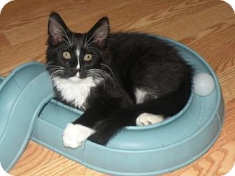 Maine Coon Kitten for adoption in Turnersville, New Jersey - Parsley
