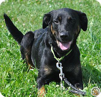 Coonhound/Labrador Retriever Mix Dog for adoption in Eighty Four, Pennsylvania - Angel