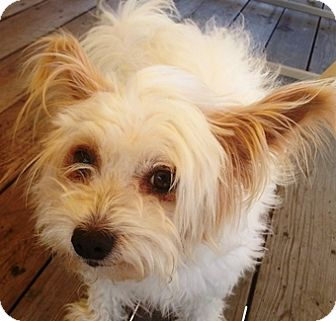 Terrier (Unknown Type, Small)/Lhasa Apso Mix Dog for adoption in Castro Valley, California - Wookie