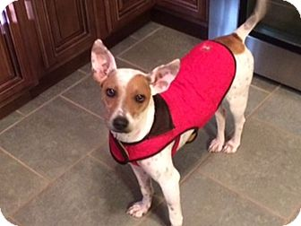 Rat Terrier/Jack Russell Terrier Mix Dog for adoption in Knoxville, Tennessee - Ava