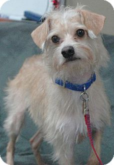 Terrier (Unknown Type, Medium)/Poodle (Miniature) Mix Dog for adoption in Woodburn, Oregon - Sneak - ADOPTION PENDING!