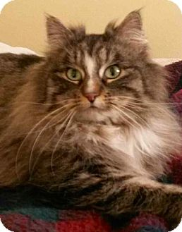 Domestic Longhair Cat for adoption in Buhl, Idaho - Lillycat