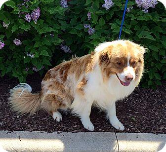 Australian Shepherd Mix Dog for adoption in Oswego, Illinois - I'M ADOPTED Riley Carlson :)