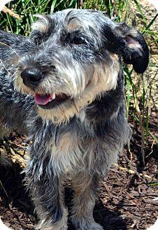 Schnauzer (Miniature) Mix Dog for adoption in Bridgeton, Missouri - Muggsley