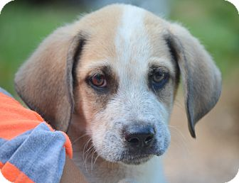 Labrador Retriever Mix Puppy for adoption in Spring City, Pennsylvania - Boss
