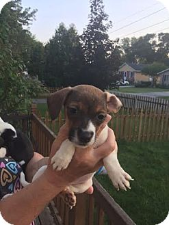 Beagle/Terrier (Unknown Type, Medium) Mix Puppy for adoption in Hainesville, Illinois - Brynn