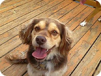 Cocker Spaniel Mix Dog for adoption in Gallatin, Tennessee - Bayley
