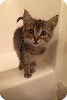 Domestic Shorthair Kitten for adoption in Anoka, Minnesota - Earl Gray