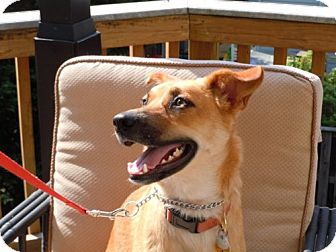 Belgian Malinois/Shepherd (Unknown Type) Mix Dog for adoption in Brookeville, Maryland - Sona