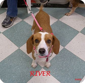 Beagle Dog for adoption in Ventnor City, New Jersey - RIVER