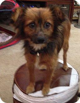 Papillon/Maltese Mix Dog for adoption in Brattleboro, Vermont - DOMINIQUE
