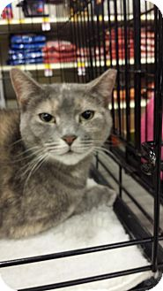 Domestic Shorthair Cat for adoption in Hazlet, New Jersey - Millie