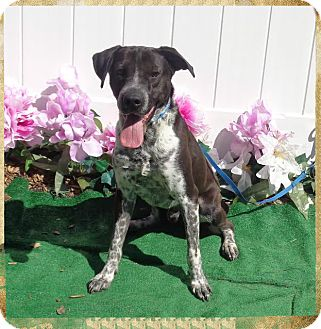 Pointer/Hound (Unknown Type) Mix Dog for adoption in Marietta, Georgia - TIP (R)