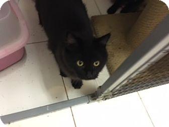 Domestic Longhair Kitten for adoption in Elk Grove, California - Sapphire
