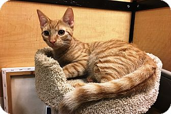 Domestic Shorthair Kitten for adoption in Riverside, California - Rhett