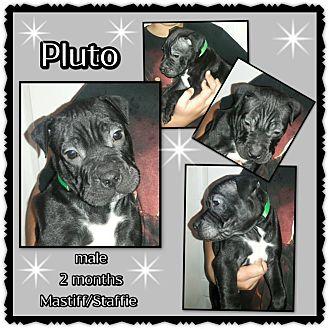 Mastiff/American Staffordshire Terrier Mix Puppy for adoption in Richmond, California - Pluto