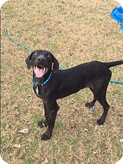 Labrador Retriever/Coonhound (Unknown Type) Mix Puppy for adoption in St. Francisville, Louisiana - Bo Duke