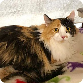 Domestic Longhair Cat for adoption in Arlington/Ft Worth, Texas - Sweet Pea