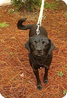 Labrador Retriever/Beagle Mix Dog for adoption in Washington, D.C. - Izzy