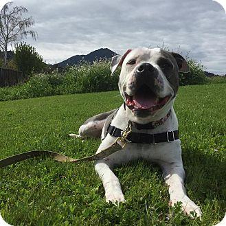 American Bulldog/American Staffordshire Terrier Mix Dog for adoption in Huntington beach, California - Cupid