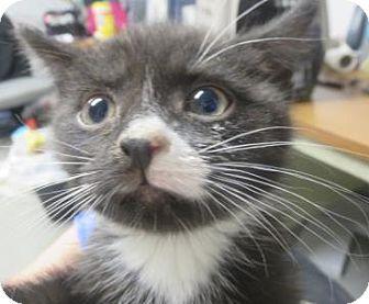 Domestic Mediumhair Kitten for adoption in Lincolnton, North Carolina - Bo