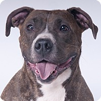 American Pit Bull Terrier Dog for adoption in Chicago, Illinois - Roxy