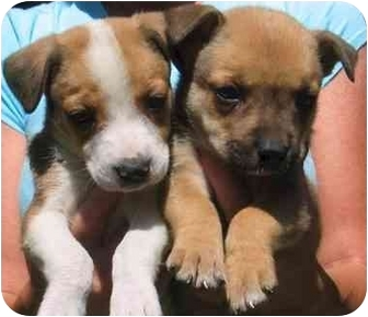 American Pit Bull Terrier/German Shepherd Dog Mix Puppy for adoption in Rolling Hills Estates, California - Cuties